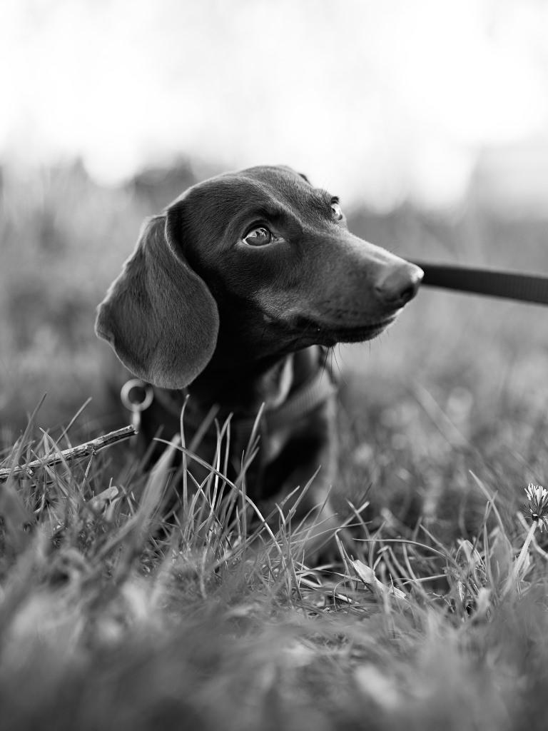 Kutyafotózás LULU 003 | Seres Zsolt fotós